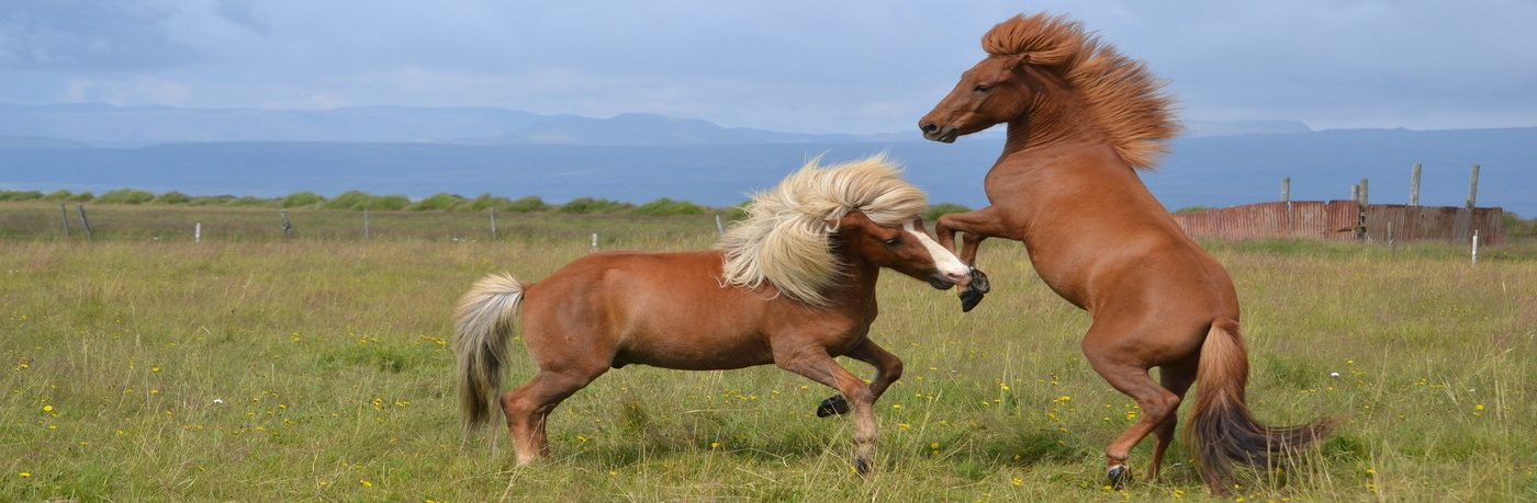 hästar till salu islandshästar
